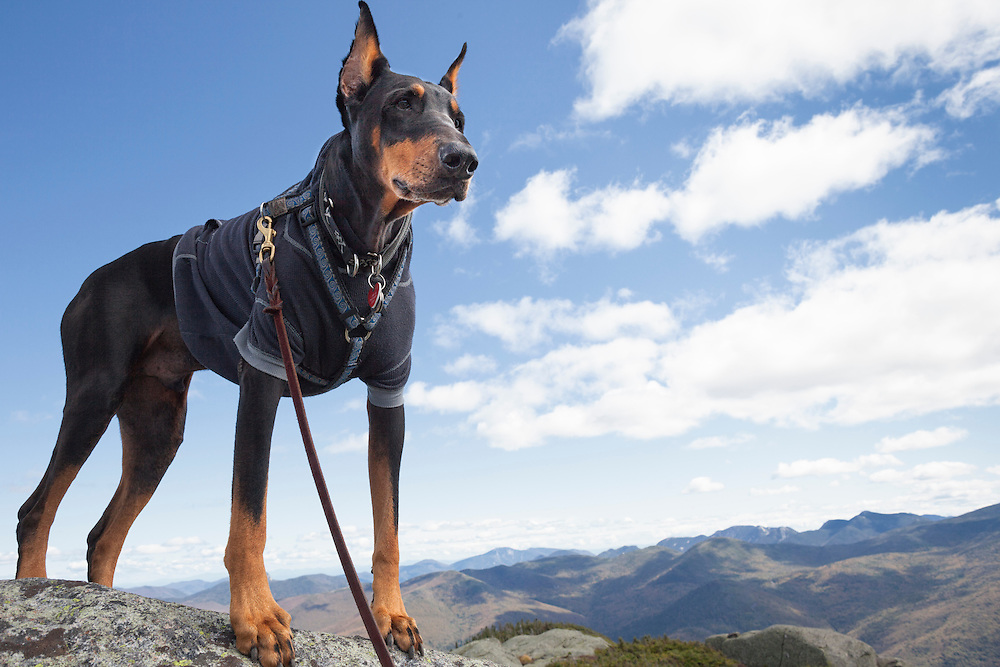 Doberman dressed in a black hoodie on the summit of Wright Mountain in the Adirondack High Peaks