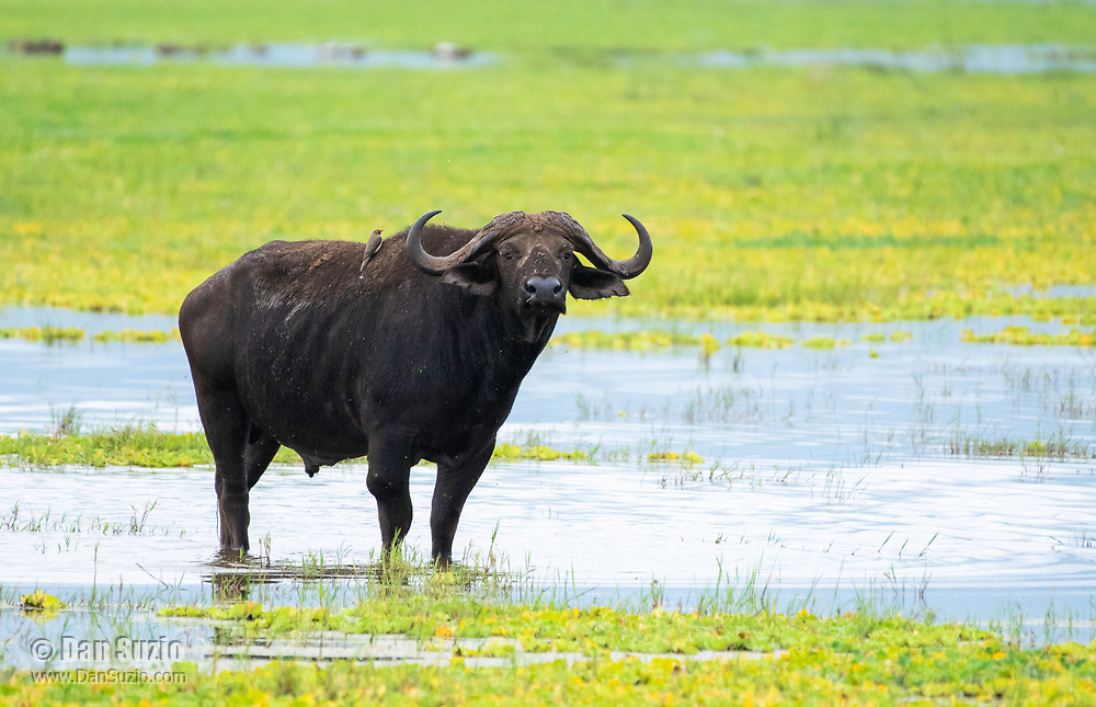 A Cape Buffalo, Syncerus caffer caffer, walks through a marsh in Lake Manyara National Park, Tanzania. Perched on its back is a Red-billed Oxpecker, Buphagus erythrorhynchus.