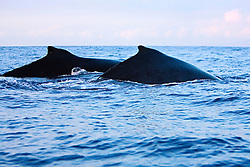 Humpback Whales, surfacing in pair, Megaptera novaeangliae, Hawaii, Pacific Ocean.