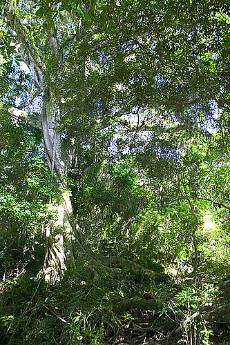 South America, Uruguay, Rocha, Quebrada de los Higuerones, Area Protegida Laguna Negra, Higueron, Ficus luschnatiana, strangler fig
