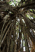 South Pacific, The Republic of Vanuatu, Shefa Provence, Epule River Valley Rainforest Air roots of a ficus Tree