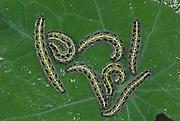 Large / Cabbage White Butterfly, Pieris brassicae, catapillars feeding on leaf, 2nd brood in season, on garden nasturtium plant