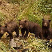 Alaskan Brown Bear (Ursus middendorffi) Three cubs watch for mother along river embankment. Katmai National Park. Alaska.