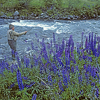 FISHING, Chile, Fly fishing guide Carlos Munoz by spring lupines,near Coihaique (Patagonia) (MR)