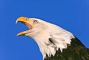 American bald eagle calling