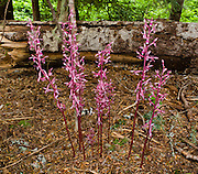 The Western Coral-Root is saprophytic or parasitic on roots with large, coral-like rhizomes underground. Latin name: Corallorhiza mertensiana (Orchidaceae, Orchid Family). This 12-inch high, pink (and red magenta) colored orchid was found on the hike to Rachel Lake in Alpine Lakes Wilderness Area, Washington, USA. The Coralroot grows in moist coniferous woods in Eastern and Western Washington and blooms in mid to late summer.