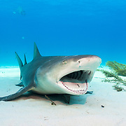 An adult lemon shark (Negaprion brevirostris) pauses in the sand to be cleaned by a small cleaner wrasse. Lemon sharks are the first species of shark proven to practice natal philopatry where the mother will return to the same area she was born in to give birth. Mangroves are being lost at unsustainable rates thanks to coastal development. Image made off Grand Bahama Island, Bahamas.