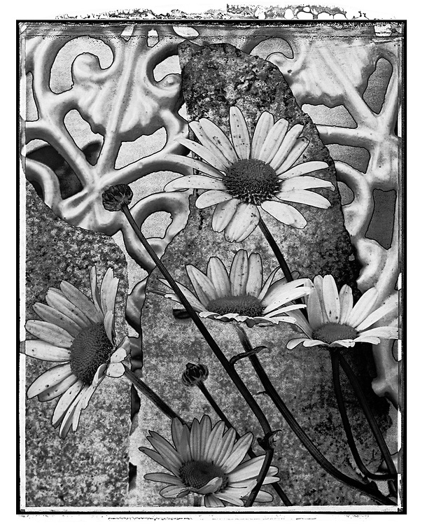 Solaroid - Ox Eye Daisies - This is a solarised polaroid photo art print by Paul Williams who invented the technique and is the only photographer to have used it. The process is sadly no longer possible. Taken in 1991 .<br /> <br /> Visit our FINE ART PHOTO  PRINT COLLECTIONS for more wall art photos to browse https://funkystock.photoshelter.com/gallery-collection/Fine-Art-Photo-Prints-by-Photographer-Paul-Williams/C0000UM829OLMVv8 .