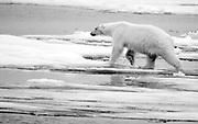 Polar bear in black and white.