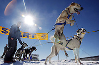 A sled dog jumps with excitement as his team prepares to start the Upper Green River leg of the 2005 International Pedigree Stage Stop race near Elk Ridge Lodge in Wyoming's Wind River Wilderness.