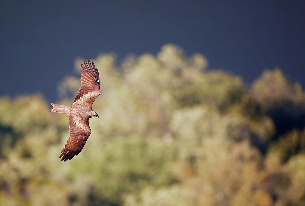 Black Kite (Milvus migrans) Extremadura, Spain. April 2009