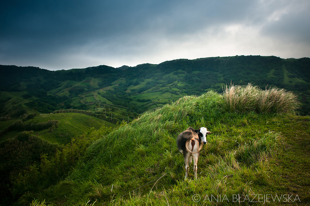 Philippines, Batanes. A cow staring from its green meadow on Mahatao Hedgerows, one of the most picturesque places of Batan Island.