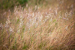 Mixed grasses in RSPB reserve, Dungeness including Yorkshire Fog grass . Holcus lanatus