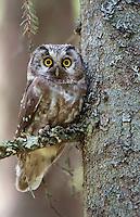 Tengmalms owl (Aegolius funereus) perched in tree,  Bergslagen, Sweden.