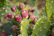 Prickly pear cactus with fruit Bermuda