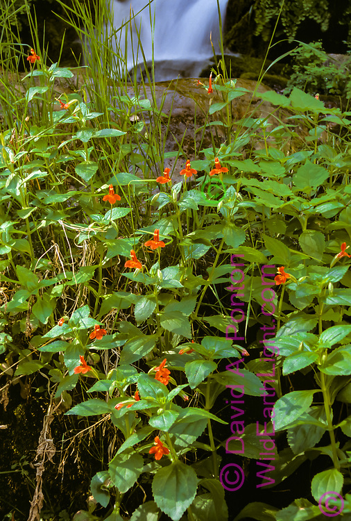 Scarlet monkey flower growing in group near a stream from Big Springs, Zion Narrows hike, © David A. Ponton