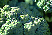 Close up selective focus photograph of the tops of heads of broccoli