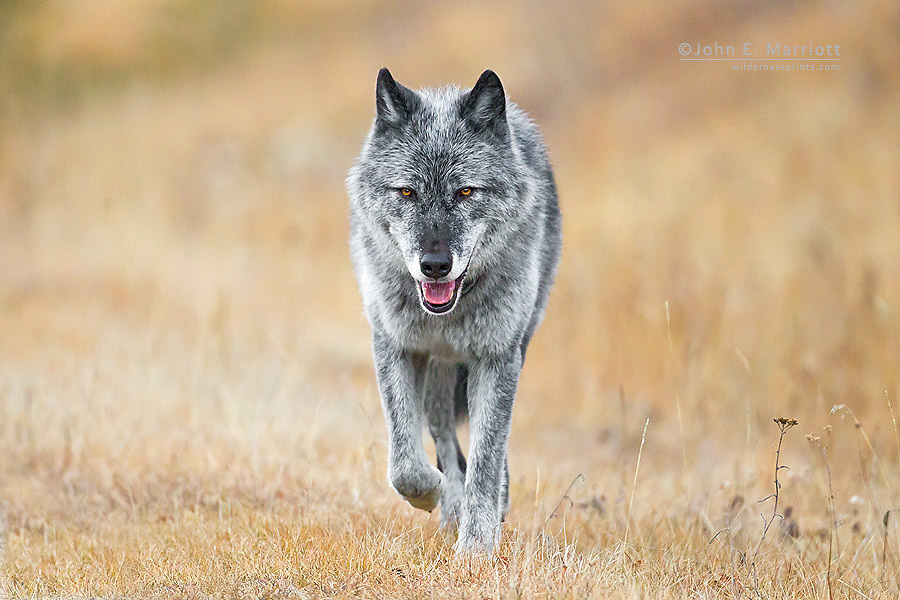 Wild wolf, Banff National Park, Alberta, Canada