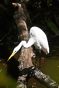 Great White Egret hunting for fish in glade, Florida Everglades, United States of America