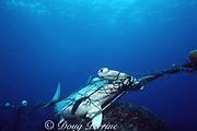 scalloped hammerhead shark, Sphyrna lewini, Endangered Species, caught in shark net illegally set in Galapagos Marine Reserve, Wolf ( Wenman ) Island, Galapagos, Ecuador ( Eastern Pacific Ocean )