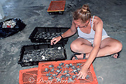 volunteeer sorts Kemp's ridley sea turtle hatchlings, Lepidochelys kempii, Critically Endangered Species, for immediate release or extended care, Rancho Nuevo, Mexico ( Gulf of Mexico )
