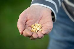 Sowing sweetcorn seed - Zea mays