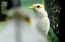 April 13, 2018 - Madiun, East Java, Indonesia - White starlings [Acridotheres melanopterus] perched wildlife encloses complement the mini zoo in Madiun (Credit Image: © Ajun Ally/Pacific Press via ZUMA Wire)