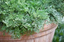 Artemisia arborescens in a terracotta pot
