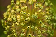 Allium seed head, UK