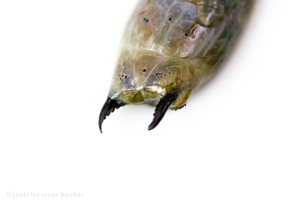 Sandworm (Alitta virens) specimen found dead at Seal Harbor beach, Maine, photographed in water on a lightbox.