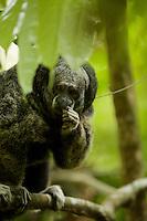 Equatorial Saki (Pithecia aequatorialis) at the Tiputini Biodiversity Station, Orellana Province, Ecuador