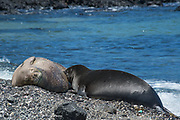 Hawaiian monk seal, Neomonachus schauinslandi, formerly Neomonachus schauinslandi ( Critically Endangered, endemic species ), 8-9 year old female, nursing 6 week old pup, Kaiole Bay, near Kamilo Point, Ka'u, Hawaii ( the Big Island ); this is the area known locally as Trash Beach because currents bring never-ending loads of marine debris ashore here; bits of colored plastic can be seen stuck to the seal's fur and all over the shoreline.