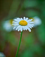Daisy. Image taken with a Leica SL2 camera and 90-280 mm lens.