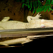 A rare albino alligator named Oleander on display at the National Aquarium in downtown Washington DC in late-2011 as part of the Secrets of the Swamp special exhibit. The National Aquarium is in the basement of the Department of Commerce Building, where it has been housed since 1932. Much smaller and less well known than its affiliated facility in Baltimore, Washington's National Aquarium consists of a series of tanks illustrated various types of marine environments, with special emphasis on the many marine sanctuaries in U.S. marine territory.