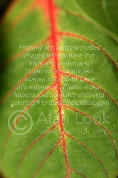 30 June 2007: Poinsettia leaf (Euphorbia pulcherrima)