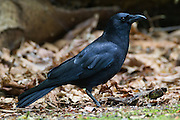 A Northwestern crow (Corvus caurinus) searches for food on the forest floor in Interlaken Park, Seattle, Washington. Except for their slightly smaller size, Northwestern crows are nearly indistinguishable from the American crow (Corvus brachyrhynchos), which is common throughout the United States and Canada. The Northwestern crow is found only near the Pacific coast of Washington, Alaska, and British Columbia.