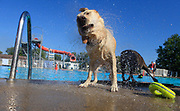 A yellow lab named Cisco, which belongs to Rob Anderson, shakes water from it's fur after it swam in Mills Pool during Drool in the Pool. (Photo by Jeremy Hogan)
