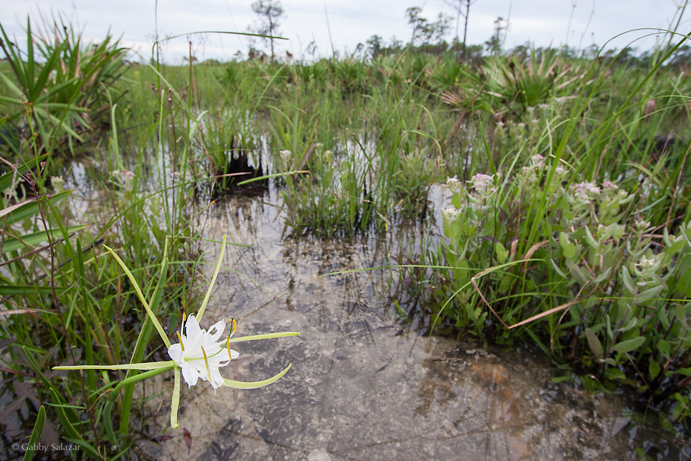 Swamp lily (Crinum pedunculatum). Fakahatchee Strand Preserve State Park, Florida.