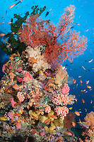 Anthias and Wrasses feed in the current around a soft coral encrusted pinnacle.<br /> <br /> Shot in Indonesia