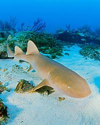 nurse shark, Ginglymostoma cirratum, Key Largo, Florida Keys National Marine Sanctuary, Atlantic Ocean.