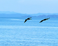 Brown Pelican. Image taken with a Leica D-Lux 5 camera