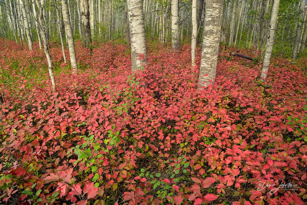 Highbush cranberry in an aspen woodland, Wood Buffalo National Park, Alberta, Canada