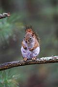 American Red Squirrel in forest habitat