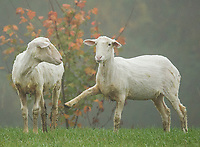 """Two sheep grazing in the field at Ramblin' Vewe Farm.  """"Hey, do you think she will make us famous?""""  """"....Nah""""  (Karen Bobotas/for the Laconia Daily Sun)"""