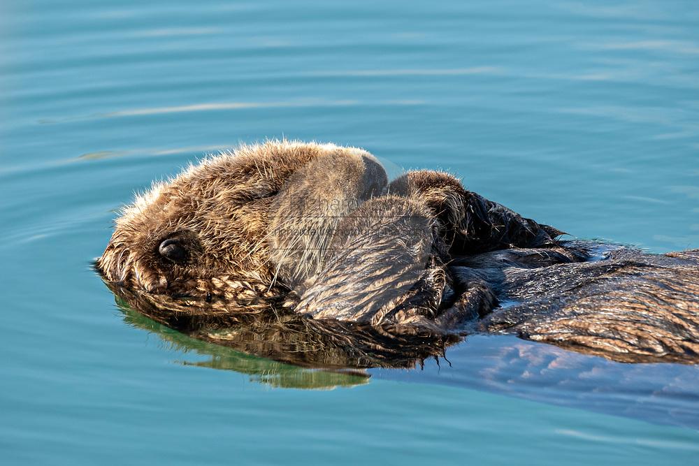 A northern sea otter floats asleep in the Kachemak Bay at the City of Homer Port & Harbor marina in Homer, Alaska.
