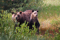 Grizzly 399 and cub, Grand Teton National Park<br /> <br /> Contact for custom print options or inquiries about stock usage  - dh@theholepicture.com