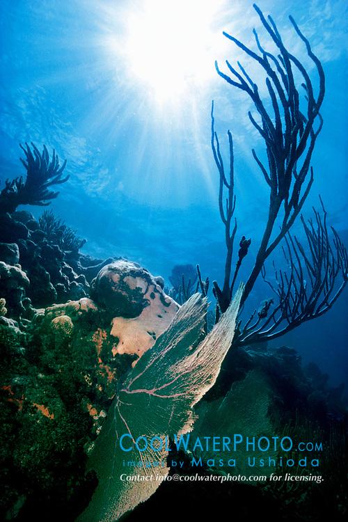 sea fan, Gorgonia sp., and knobby sea rods, Eunicea sp., Looe Key, Florida Keys National Marine Sanctuary, Florida, Atlantic Ocean