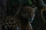 Close up portrait of a jaguar, Panthera onca, in the shade of the late afternoon.
