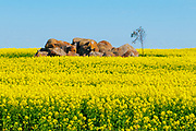 Rock outcrop in field of flowering canola crop in rural country Victoria, Australia. <br />