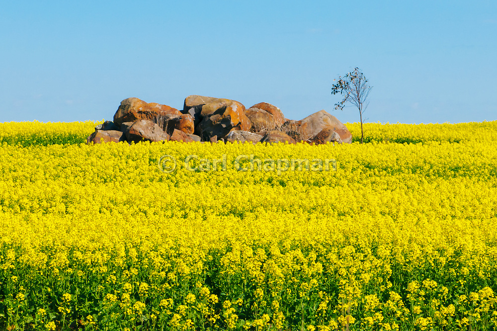 Rock outcrop in field of flowering canola crop in rural country Victoria, Australia. <br /> <br /> Editions:- Open Edition Print / Stock Image